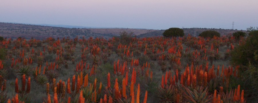 aloes in the eastern cape at humansdorp vet.jpg