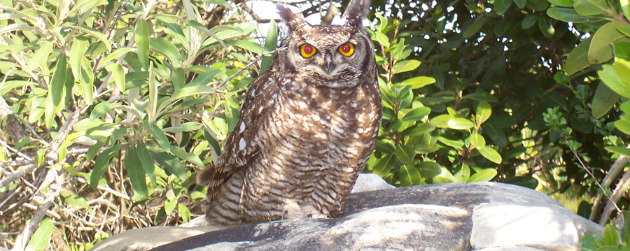 owl in natural environment at humansdorp vet .jpg